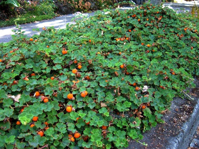 http://www.hevanet.com/logician/gardening/CreepingRubus-1.jpg
